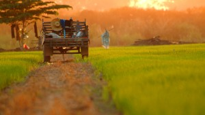 Rice_Field_Pitsanulok