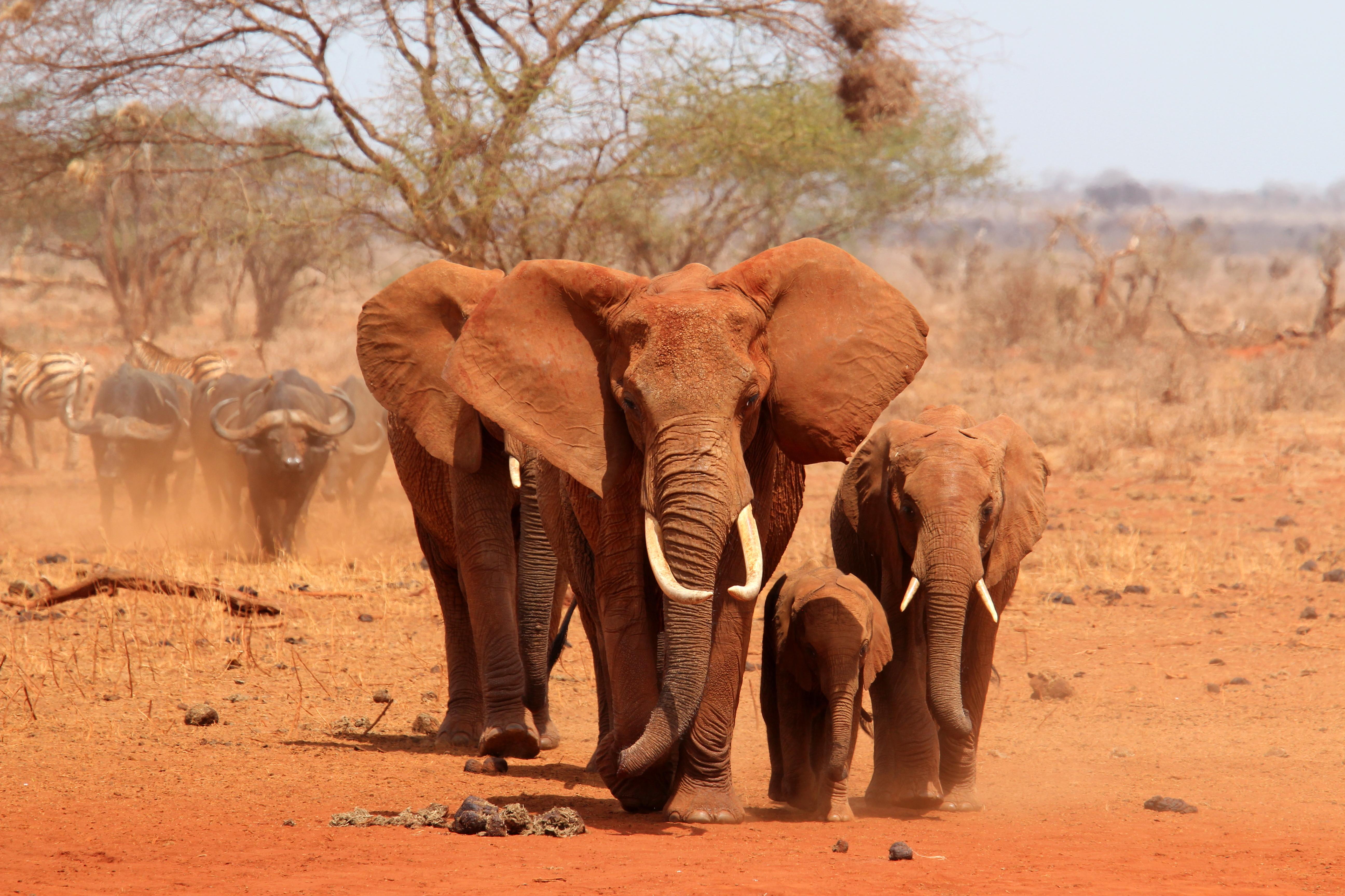 africa_tanzania_elefanti