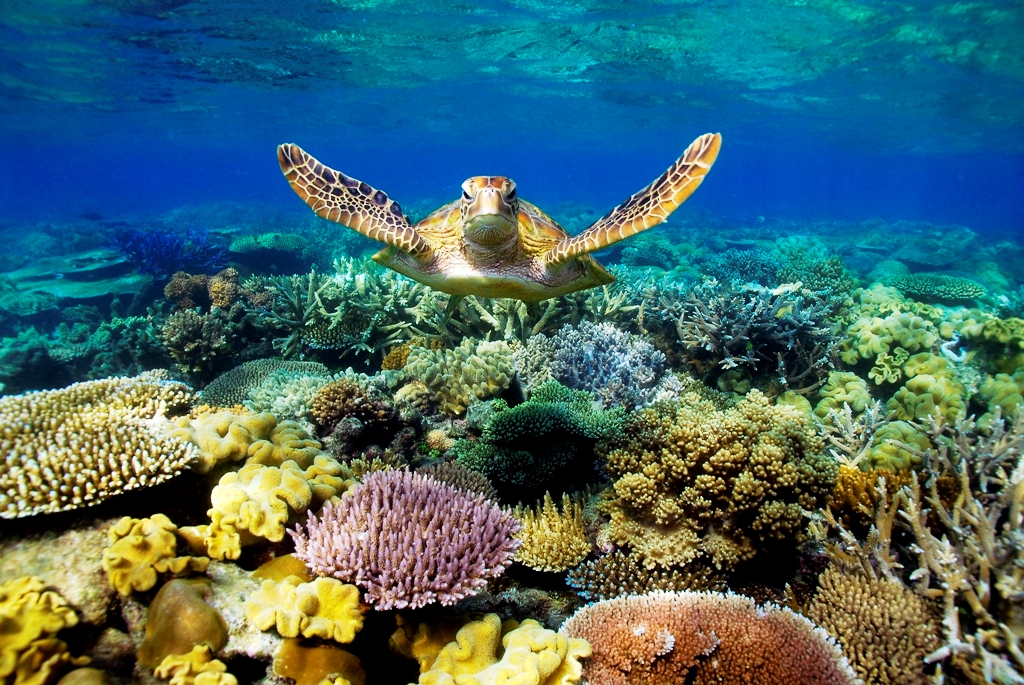 Great Barrier Reef - Turtle