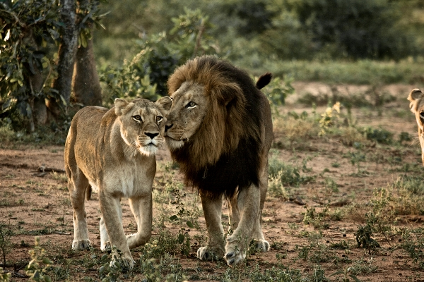 Lion-and-Lioness-at-the-Kruger-Narional-Park-in-South-Africa